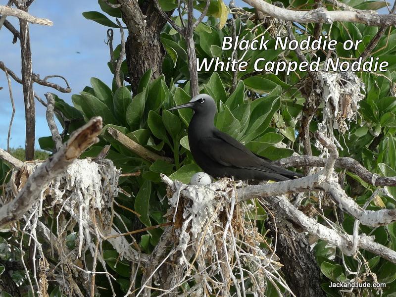 White Capped Noddie