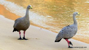 Cape Barren Geese mate for life