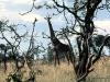 69-giraffe-Serengeti