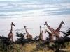 69-giraffs