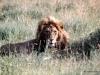 69-lion-Serengeti