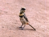 69-mottled-bird