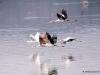 69-stork-flying