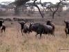 69-wilderbeast-Serengeti