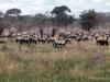 69-zebra-Serengeti