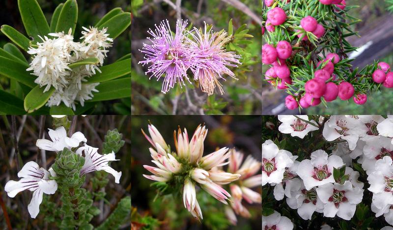 Flowers of SW Tasmania found at Port Davey