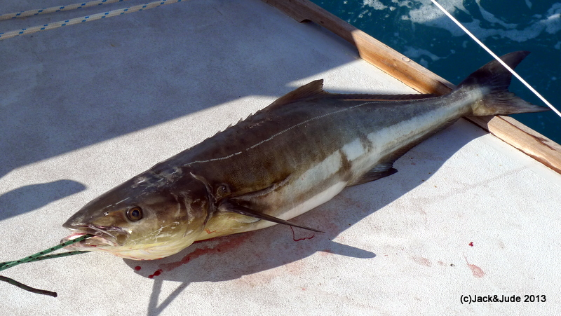 Black Kingfish