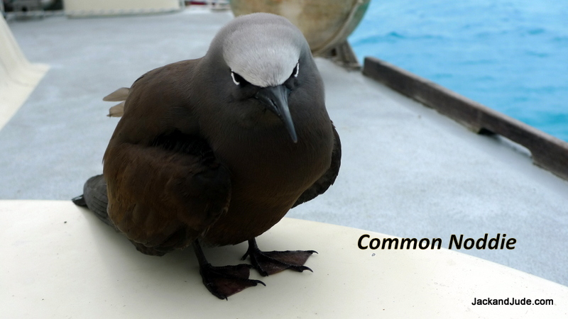 Common Noddie