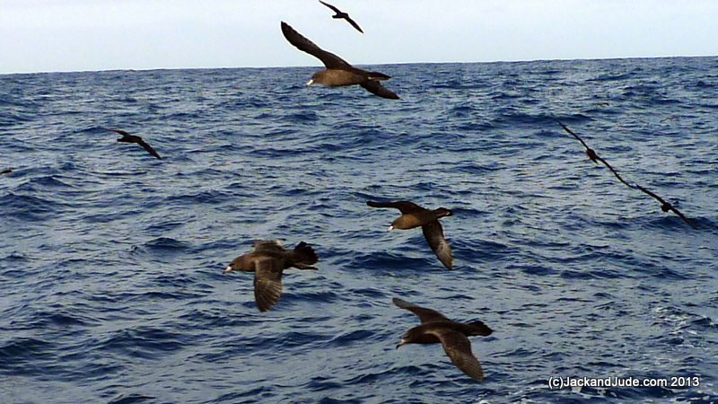 Brown Shearwaters