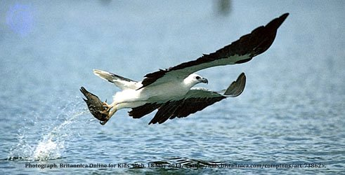 A white-bellied sea eagle (Haliaeetus leucogaster) catches a fish.