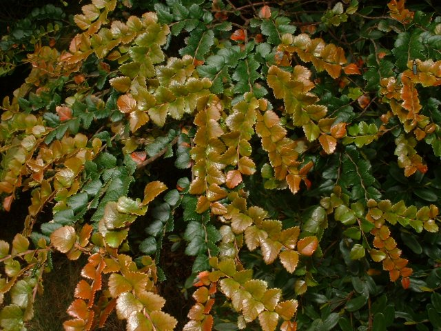 Myrtle Leaves (Nothofagus cunninghamii)