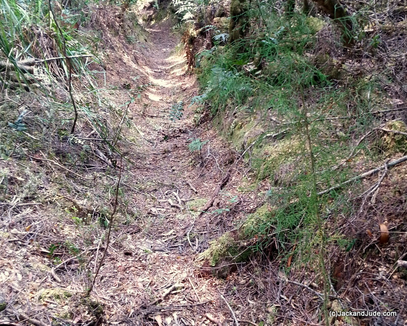young Huon Pines grow alongside the Shoe Road