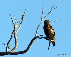 one of a pair of Wedge Tailed Eagles
