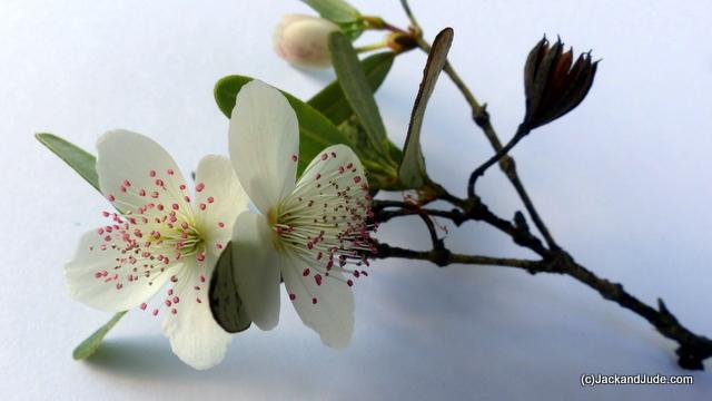 leatherwood blossum