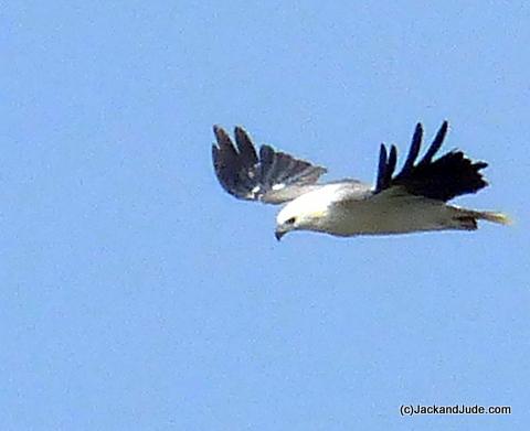 Sea Eagle searches for a morsel