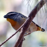 Yellow-rumped Pardalote