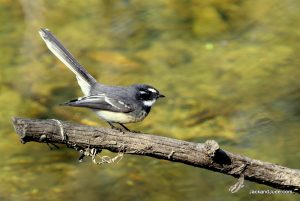 Grey Fantail swoops on insects over river